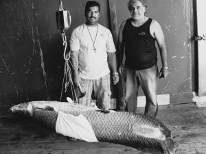 Two men weighing an Arapaima (Pirarucu) fish